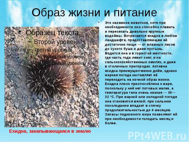 Образ жизни и питание Это наземное животное, хотя при необходимости оно способно плавать и пересекать довольно крупные водоёмы. Встречается ехидна в любом ландшафте, предоставляющем ей достаточно пищи — от влажных лесов до сухого буша и даже пустынь…