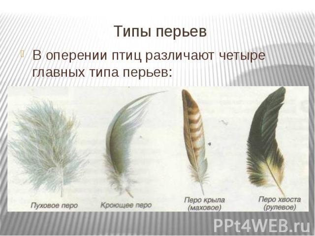 Типы перьев В оперении птиц различают четыре главных типа перьев: