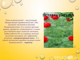 Пион тонколистный – многолетний, дикорастущий травянистый вид. Это растение отли