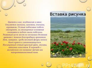Цветет в мае, плодоносит в июле. Опыляется жуками, шмелями, пчелами, муравьями.