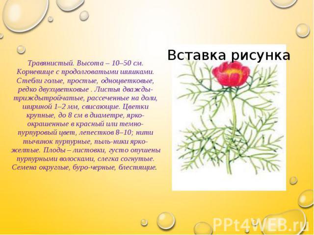 Травянистый. Высота – 10–50 см. Корневище с продолговатыми шишками. Стебли голые, простые, одноцветковые, редко двухцветковые . Листья дважды-триждытройчатые, рассеченные на доли, шириной 1–2 мм, свисающие. Цветки крупные, до 8 см в диаметре, ярко-о…