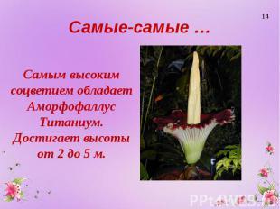 Самые-самые … Самым высоким соцветием обладает Аморфофаллус Титаниум. Достигает