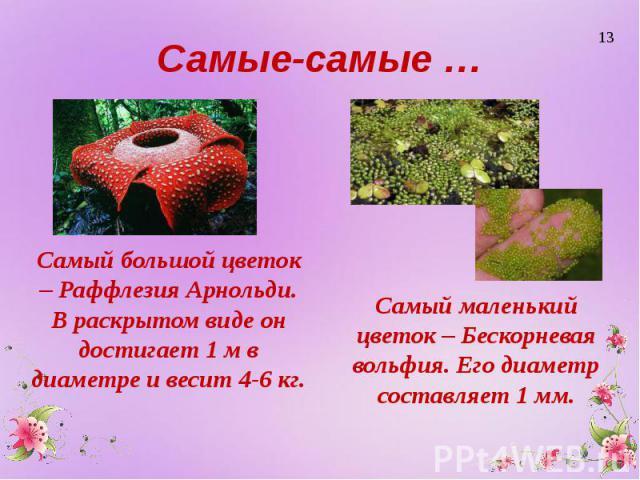 Самые-самые … Самый большой цветок – Раффлезия Арнольди. В раскрытом виде он достигает 1 м в диаметре и весит 4-6 кг.