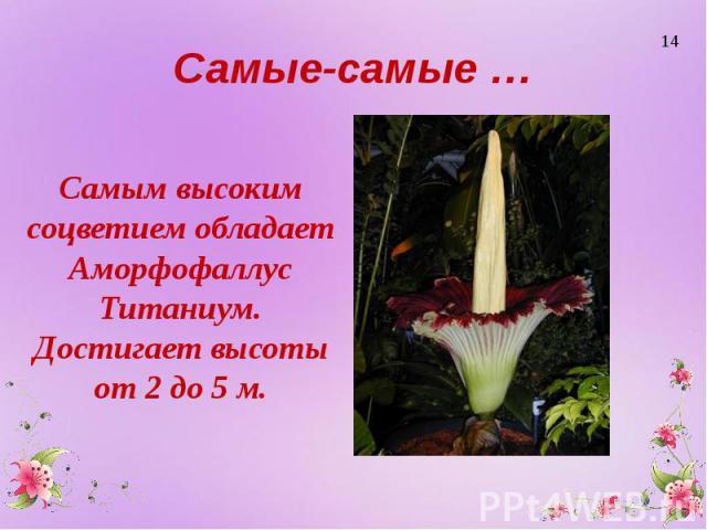 Самые-самые … Самым высоким соцветием обладает Аморфофаллус Титаниум. Достигает высоты от 2 до 5 м.