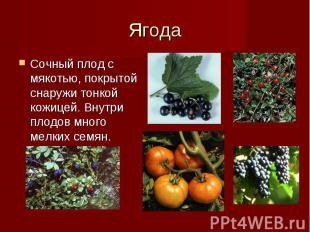 Сочный плод с мякотью, покрытой снаружи тонкой кожицей. Внутри плодов много мелк