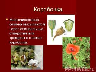 Многочисленные семена высыпаются через специальные отверстия или трещины в стенк