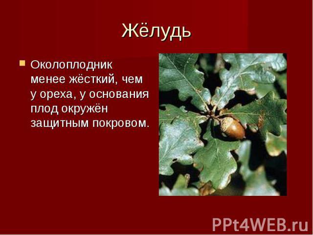 Околоплодник менее жёсткий, чем у ореха, у основания плод окружён защитным покровом. Околоплодник менее жёсткий, чем у ореха, у основания плод окружён защитным покровом.