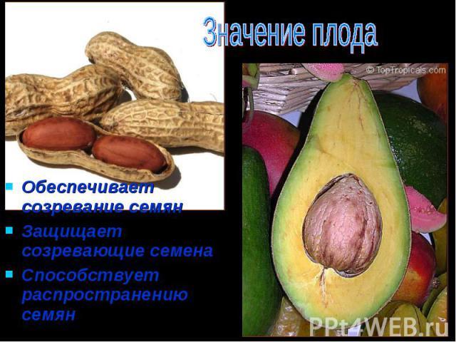Обеспечивает созревание семян Обеспечивает созревание семян Защищает созревающие семена Способствует распространению семян