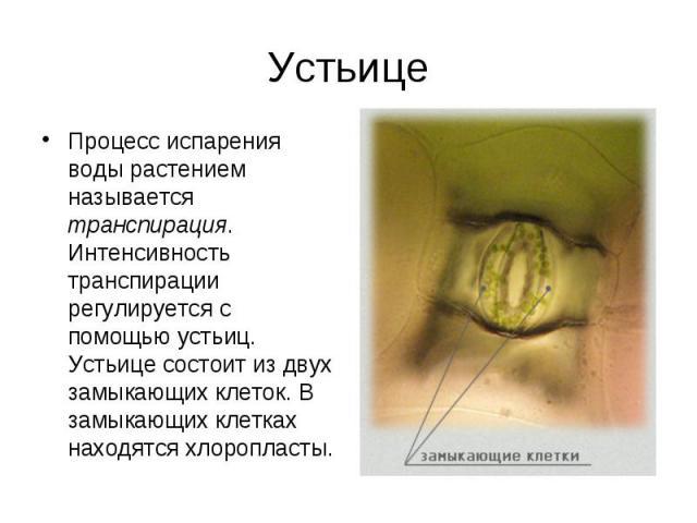 Процесс испарения воды растением называется транспирация. Интенсивность транспирации регулируется с помощью устьиц. Устьице состоит из двух замыкающих клеток. В замыкающих клетках находятся хлоропласты. Процесс испарения воды растением называется тр…