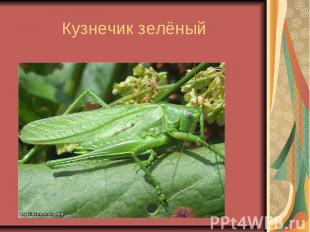 Кузнечик зелёный