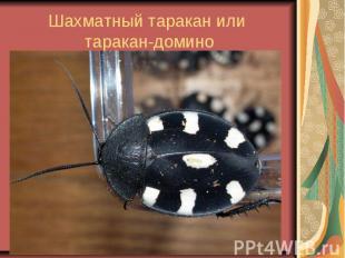 Шахматный таракан или таракан-домино
