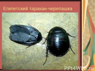 Египетский таракан-черепашка