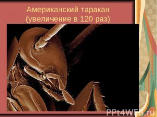 Американский таракан (увеличение в 120 раз)