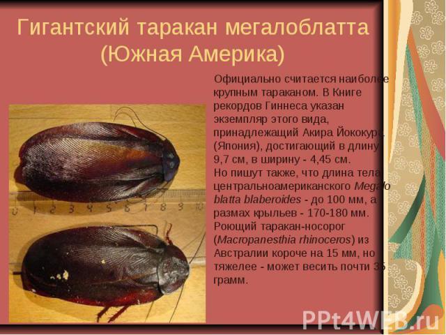 Гигантский таракан мегалоблатта (Южная Америка)