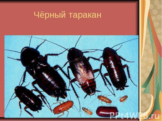 Чёрный таракан