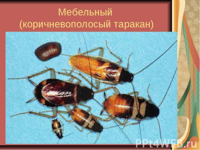Мебельный (коричневополосый таракан)