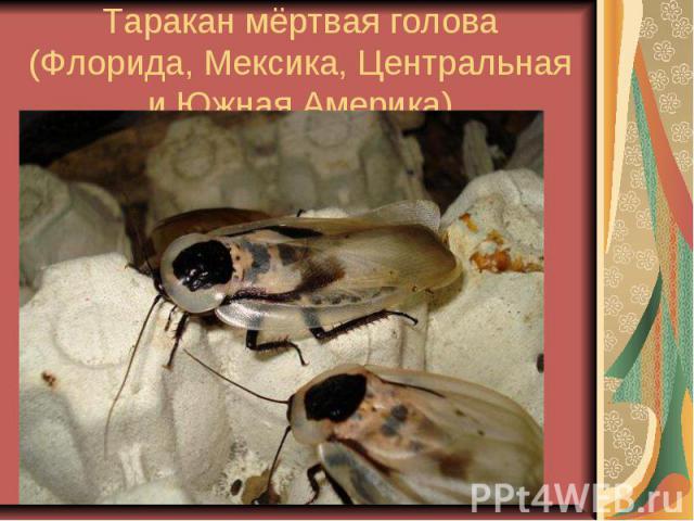 Таракан мёртвая голова (Флорида, Мексика, Центральная и Южная Америка)