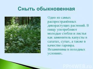Одно из самых распространённых дикорастущих растений. В пищу употребляют молодые