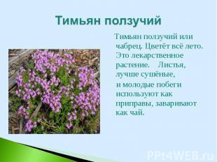 Тимьян ползучий или чабрец. Цветёт всё лето. Это лекарственное растение. Листья,