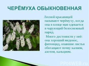 Лесной красавицей называют черёмуху, когда она в конце мая одевается в чарующий
