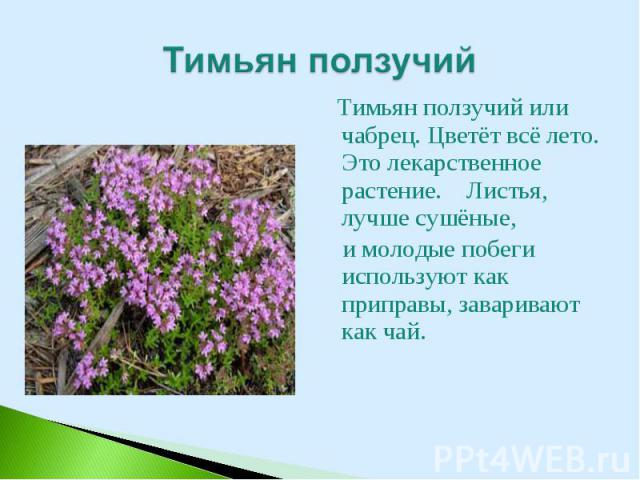 Тимьян ползучий или чабрец. Цветёт всё лето. Это лекарственное растение. Листья, лучше сушёные, Тимьян ползучий или чабрец. Цветёт всё лето. Это лекарственное растение. Листья, лучше сушёные, и молодые побеги используют как приправы, заваривают как чай.