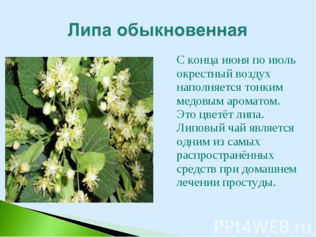 С конца июня по июль окрестный воздух наполняется тонким медовым ароматом. Это цветёт липа. Липовый чай является одним из самых распространённых средств при домашнем лечении простуды. С конца июня по июль окрестный воздух наполняется тонким медовым …