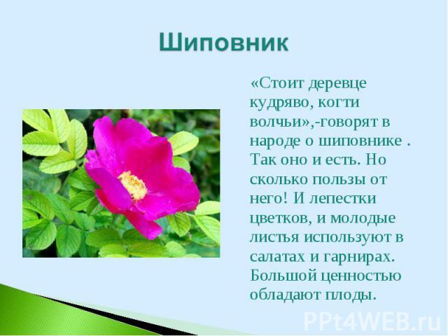 «Стоит деревце кудряво, когти волчьи»,-говорят в народе о шиповнике . Так оно и есть. Но сколько пользы от него! И лепестки цветков, и молодые листья используют в салатах и гарнирах. Большой ценностью обладают плоды. «Стоит деревце кудряво, когти во…