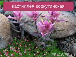 кастиллея воркутинская