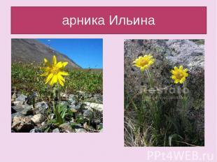арника Ильина