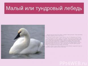 Малый или тундровый лебедь