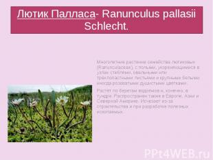 Лютик Палласа- Ranunculus pallasii Schlecht.