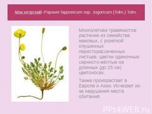 Мак югорский -Papaver lapponicum ssp. Jugoricum (Tolm.) Tolm.