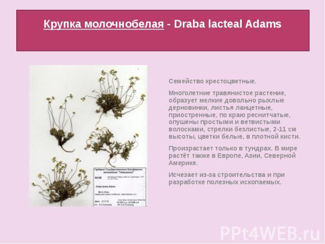 Крупка молочнобелая - Draba lacteal Adams