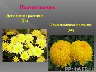 Полиплоидия Гексоплоидное растение (6n)