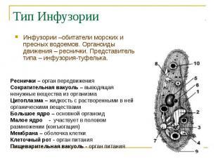 Инфузории –обитатели морских и пресных водоемов. Органоиды движения – реснички.