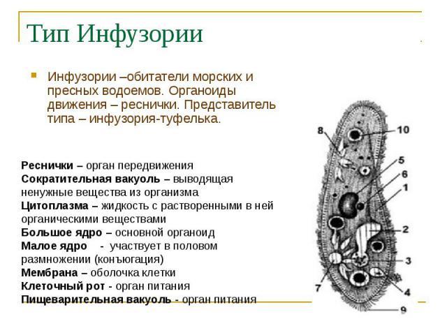 Инфузории –обитатели морских и пресных водоемов. Органоиды движения – реснички. Представитель типа – инфузория-туфелька. Инфузории –обитатели морских и пресных водоемов. Органоиды движения – реснички. Представитель типа – инфузория-туфелька.
