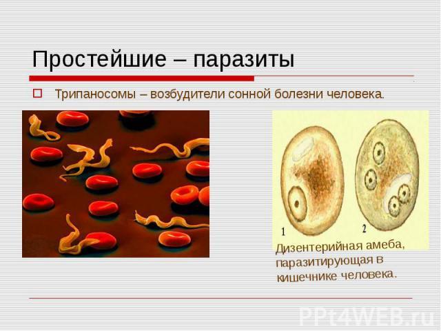 Трипаносомы – возбудители сонной болезни человека. Трипаносомы – возбудители сонной болезни человека.