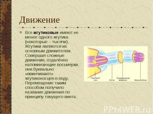 Движение Все жгутиковые имеют не менее одного жгутика (некоторые – тысячи). Жгут