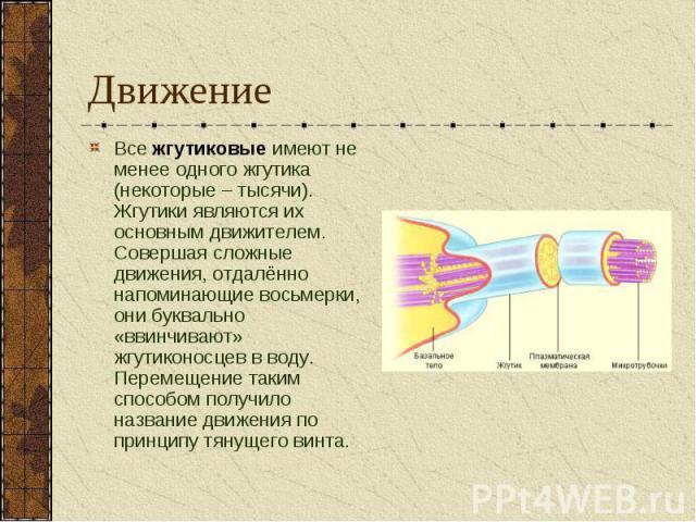 Движение Все жгутиковые имеют не менее одного жгутика (некоторые – тысячи). Жгутики являются их основным движителем. Совершая сложные движения, отдалённо напоминающие восьмерки, они буквально «ввинчивают» жгутиконосцев в воду. Перемещение таким спос…
