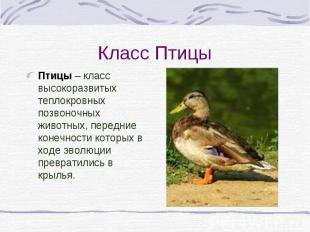 Класс Птицы Птицы – класс высокоразвитых теплокровных позвоночных животных, пере