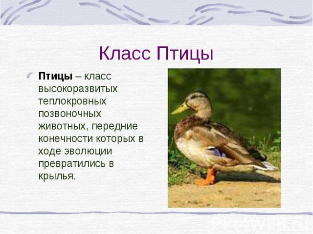 Класс Птицы Птицы – класс высокоразвитых теплокровных позвоночных животных, передние конечности которых в ходе эволюции превратились в крылья.