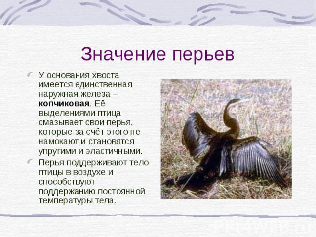 Значение перьев У основания хвоста имеется единственная наружная железа – копчиковая. Её выделениями птица смазывает свои перья, которые за счёт этого не намокают и становятся упругими и эластичными. Перья поддерживают тело птицы в воздухе и способс…