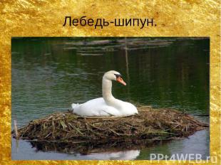 Лебедь-шипун.