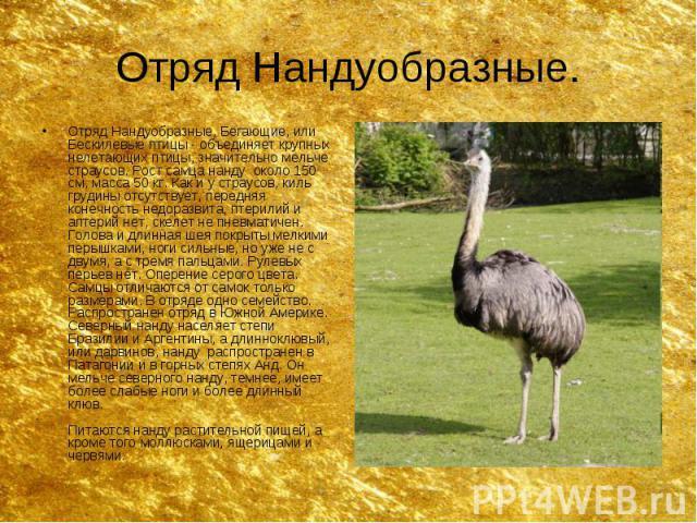 Отряд Нандуобразные. Отряд Нандуобразные, Бегающие, или Бескилевые птицы - объединяет крупных нелетающих птицы, значительно мельче страусов. Рост самца нанду около 150 см, масса 50 кг. Как и у страусов, киль грудины отсутствует, передняя конечность …