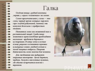Оседлая птица ,средней величины ,черная ,с серым «платочком» на голове. Оседлая