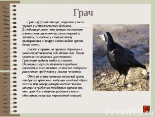 Грач –крупная птица ,оперение у него черное с металлическим блеском. Вследствие