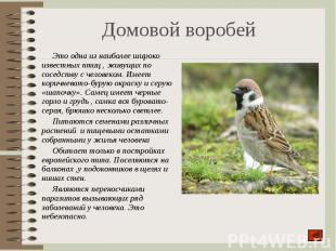 Это одна из наиболее широко известных птиц , живущих по соседству с человеком. И
