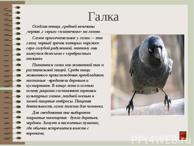 Оседлая птица ,средней величины ,черная ,с серым «платочком» на голове. Оседлая птица ,средней величины ,черная ,с серым «платочком» на голове. Самое примечательное у галки — это глаза, черный зрачок которых окружен серо-голубой радужиной, поэтому о…