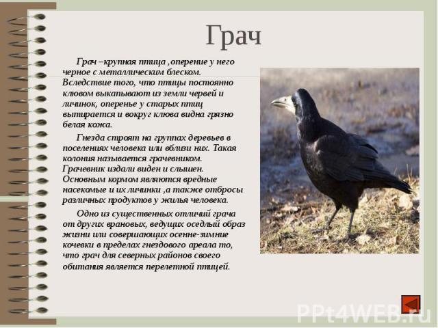 Грач –крупная птица ,оперение у него черное с металлическим блеском. Вследствие того, что птицы постоянно клювом выкапывают из земли червей и личинок, оперенье у старых птиц вытирается и вокруг клюва видна грязно белая кожа. Грач –крупная птица ,опе…