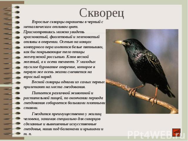 Взрослые скворцы окрашены в черный с металлическим отливом цвет. Присмотревшись можно увидеть красноватый, фиолетовый и зеленоватый отливы в оперении. Осенью на концах контурного пера имеются белые пятнышки, как бы покрывающие тело птицы жемчужной р…
